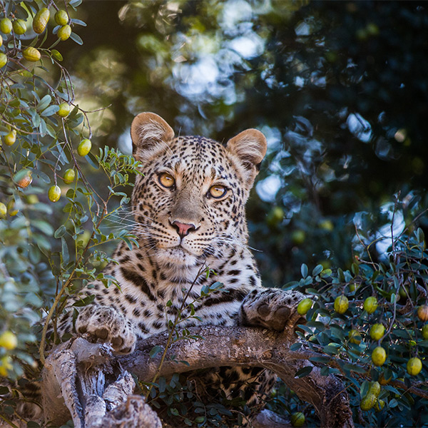 Leopard up a Tree by Anthony Lawrence