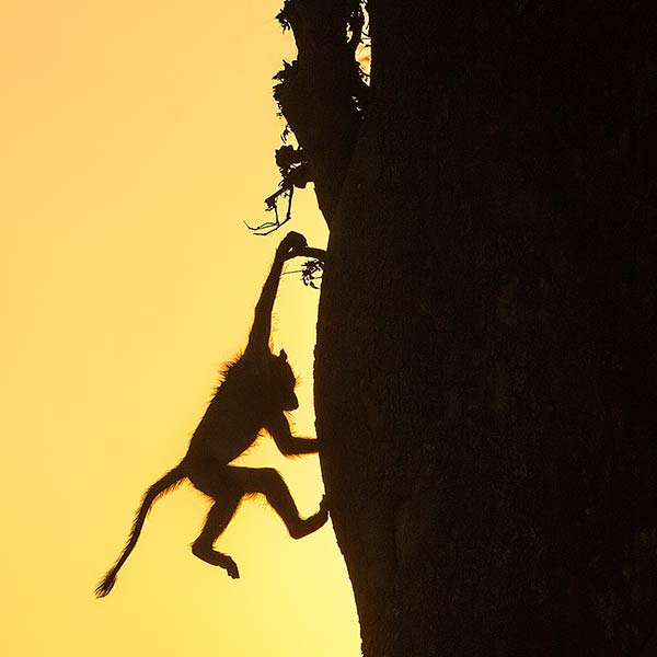Baboon Silhouette at Sunset by Anthony Lawrence