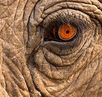 Elephant Eye 200 X 200 px