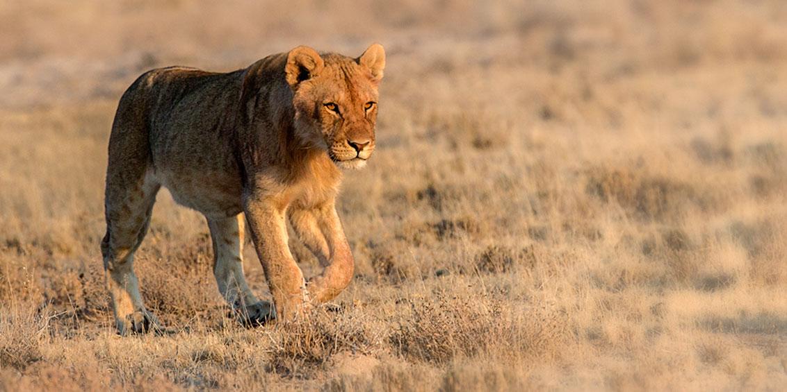 Contact 2 - Etosha Lion