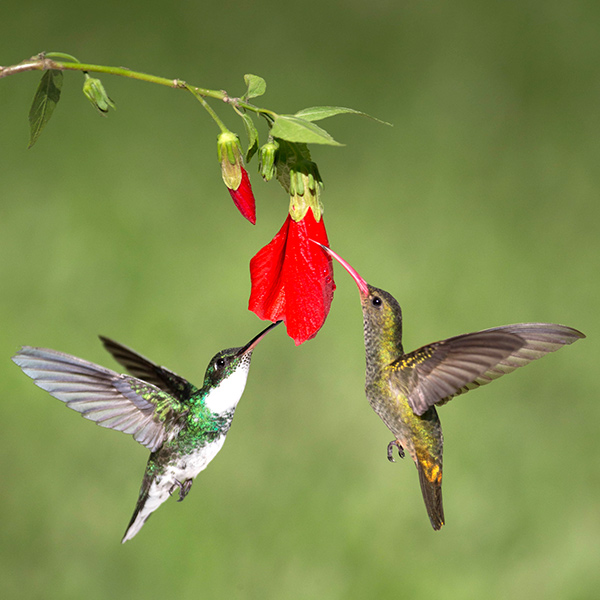 Humming Birds of Argentina