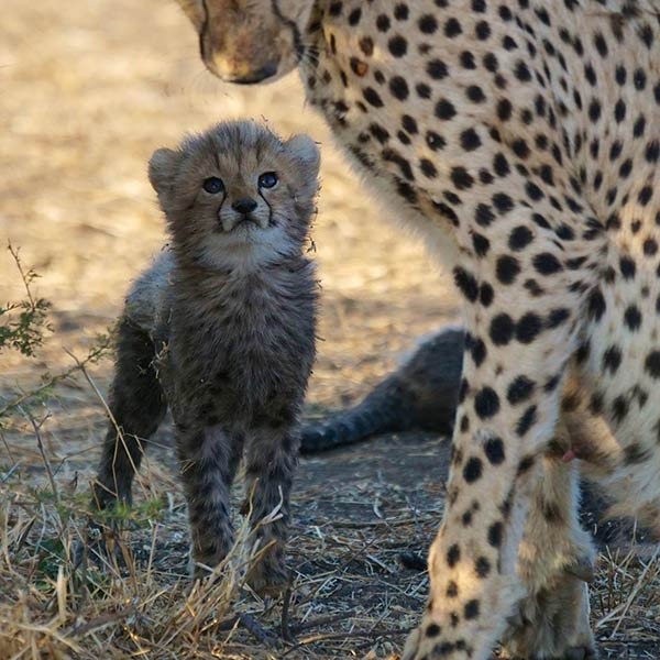 Two Months Old Cheetah Cub with Mother by Joe Lewit