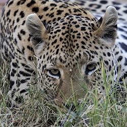 Okonjima Leopard 250 px Wide_32P0591