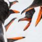 Squabling Penguin Beaks