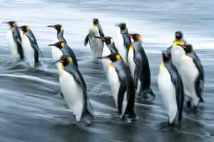 Slow-Motion-Penguins
