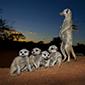 Meerkat Bedtime