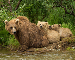 Katmai National Park, Alaska , Brown bear(s)