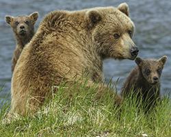 Brown bear sow and cubs, Katmai National Park, Alaska, USA