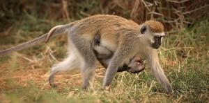 Baboon Baby Mum