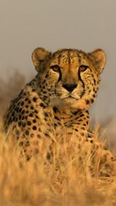 Cheetah Namibia 250 px Wide - JC