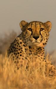 Cheetah from Below - Namibia 250 X 250