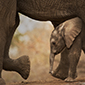 Elephant Hide Featured Image 85 X 85 px