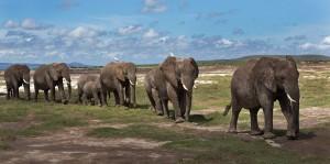 Elephants-at-Amboseli-1132-X-565