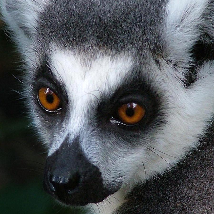 Feature Image 85 X 85 Lemur
