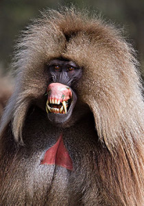 Gelada-Monkey-1