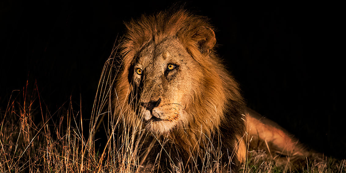 About 7 - Lion in Searchlight sRGB
