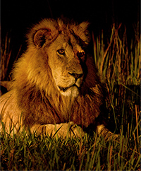 Lion in Searchlight 250 Px Wide_71P9529