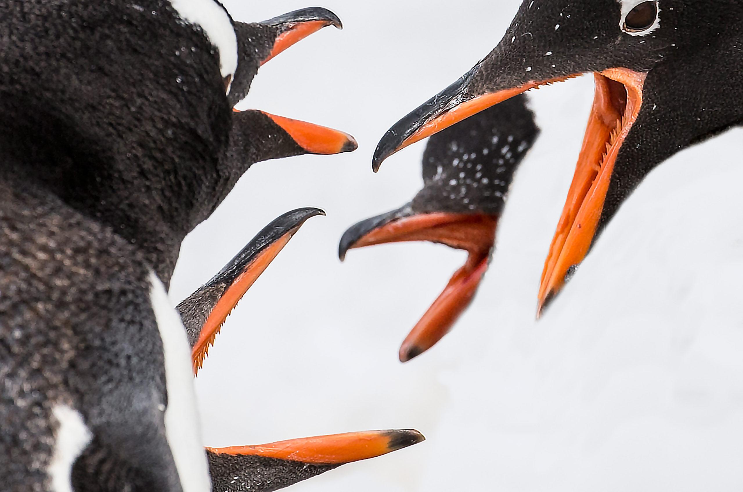 так этот фото рта пингвина знатный мистификатор