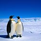 Penguins Antarctica  85X85