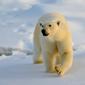 Polar Bear Feature Image