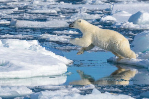 Polar-Bear-Leaping