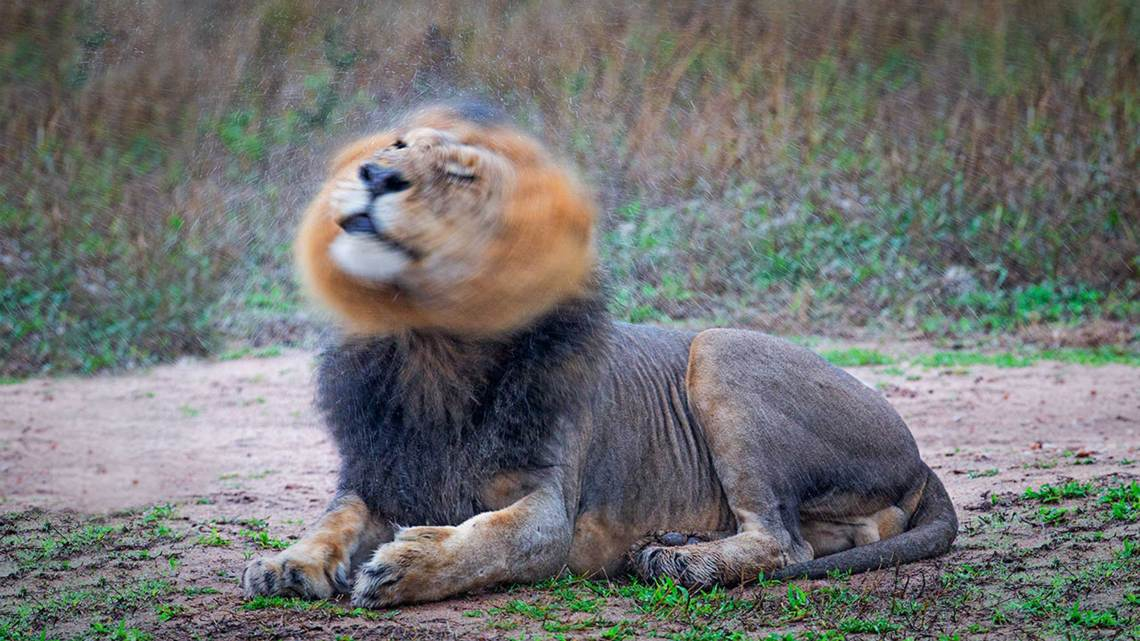 Welcome-Page---Lion-at-Hairdresser-sRGB