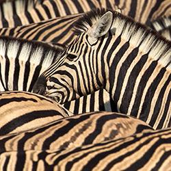 Zebra-Pattern-250-px-Wide_71P6248